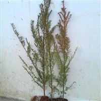 曼地亚红豆杉小苗|南方红豆杉小苗|南方红豆杉大树