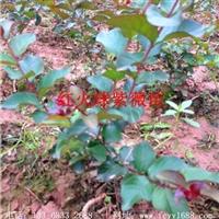 重庆 美国红火球紫薇小苗 13308332688