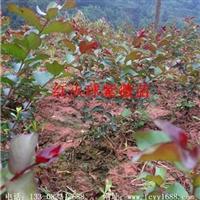 重庆枫驰红火球紫薇小苗|红火球紫薇苗价格