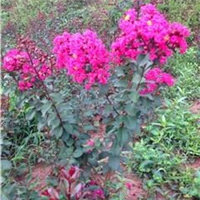 美国红叶紫薇小苗-红叶紫薇苗-红叶紫薇大树