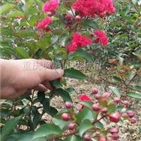重庆红火箭红火球红叶紫薇