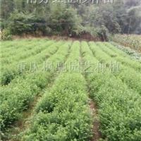 红豆杉小苗-南方红豆杉小苗