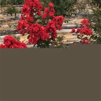 红火箭紫薇-红火球紫薇-红叶紫薇-重庆枫驰园艺苗木基地