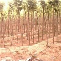 法桐种子-国槐种子-栾树种子-榆树种子-白蜡种子
