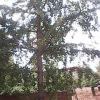 1-60公分银杏,速生造型法桐,樱花,石榴,水杉