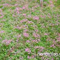 红花酢浆草苗木