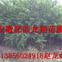 供应安徽肥西特产-乌桕苗木,量大,精品,低价