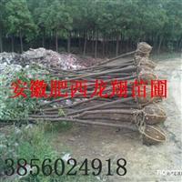 供应2-3公分香樟