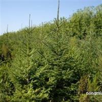 2.5米云杉价格产地2.5米3米4米云杉行情2.5米云杉热销