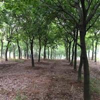 大量供应移栽10至50朴树