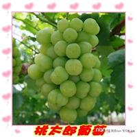 山东葡萄苗专业合作社-出售红提葡萄苗