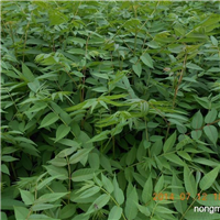 哪里香椿苗适应大棚生长-矮化红油香椿苗出售