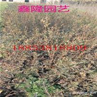 1-5年生蓝莓苗出售。质量好价格低