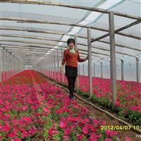 大量供应牵牛花、菊花、三色堇