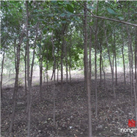 供应3公分榆树