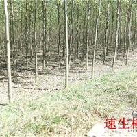 落叶乔木量产区供应速生柳,垂柳,黄柳,火炬,榆树,金叶榆