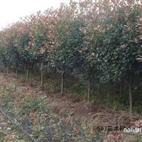 红叶石楠,美国红枫,榉树,广玉兰等。