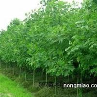 常年低价供应2-5公分榉树