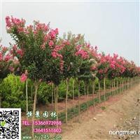 现货供应大红花紫薇3-8公分│紫薇小苗│紫薇种子