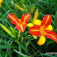 宿根花卉品种:红宝石奶油卷萱草金娃娃红晕萱草玉簪系列