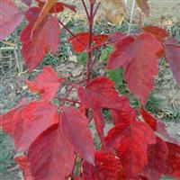 红叶复叶槭为您独家倾情供应