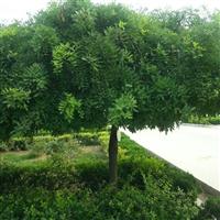 大量供应龙爪槐树