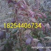 1-20金叶白蜡 红叶白蜡 速生白蜡  彩色白蜡 金叶复叶槭