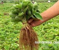 草莓苗的肥水管理