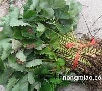 草莓苗 山东草莓苗 泰安开发区盛通园艺场
