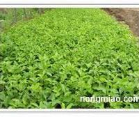 山东孔雀草最便宜的批发平台:地栽时令草花