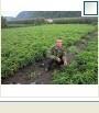 长期供应盆栽矮化盆桃苗