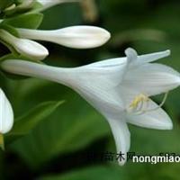 专业的白玉簪提供商,当属清波花卉