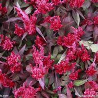 青州时令草花――山东哪里供应的红叶鸡冠花品质好