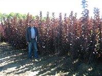 新疆彩叶树繁育基地新疆绿化苗木繁育基地新新疆建圃小苗乔灌木