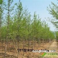 专供2-15公分银杏占地树