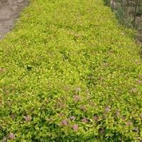 王子锦带、四季玫瑰、红瑞木、贴梗海棠、石榴花、金银木、