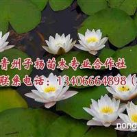 潍坊专业的睡莲供应――水芹花批发