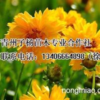 子杨苗木合作社供应最优惠的大花金鸡菊
