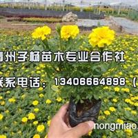 潍坊专业的孔雀草供应,保定孔雀草