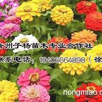 保定时销草花百日草:【荐】最好的百日草价格范围