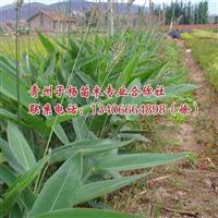 子杨苗木合作社是专业的再力花生产商 观赏用再力花