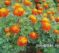 优质的孔雀草哪里有?为您推荐青州市绿洲花卉