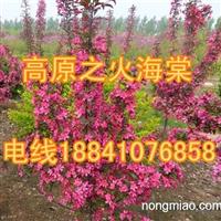 山丁子苗/西丰山丁子苗/1000万株山丁子苗