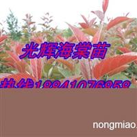 锦绣海棠苗/123苹果苗价格