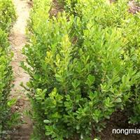 金卉园林大量供应,豆瓣黄杨,豆掰黄杨价格,绿化带苗。