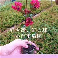 红火箭紫薇最为畅销的季节,在这个季节红火箭紫薇红到底