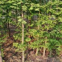 江苏扬州水杉供应