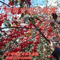 王族海棠苗|红叶海棠苗|紫叶海棠|钻石海棠|亚当海棠苗