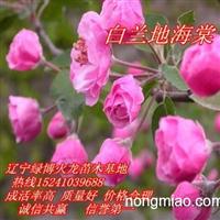 销售2014春季北美海棠苗,王族海棠苗,密枝红叶李