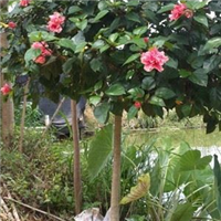 粉花扶桑1米分枝,5公分袋苗